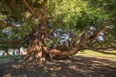 Baum-in-Victoria-Kanada
