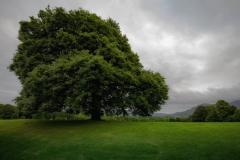 irische-Eiche